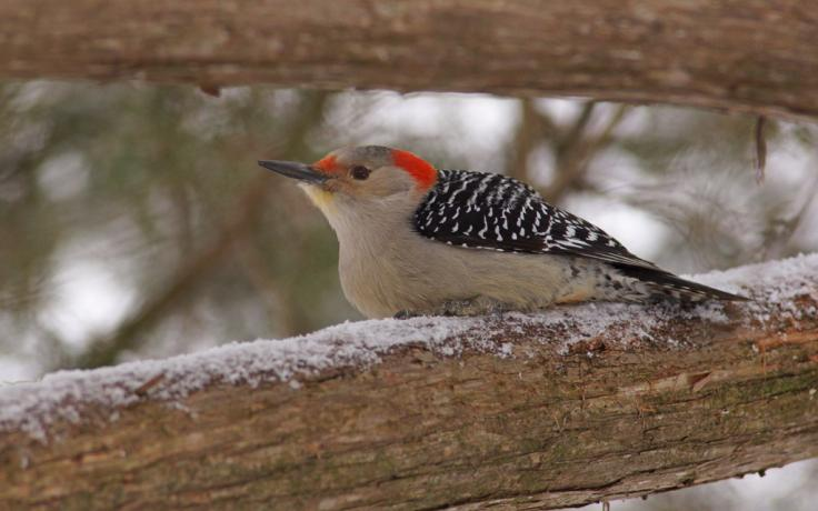 Red-bellied woodpecker photo courtesy of Allen Blake Sheldon