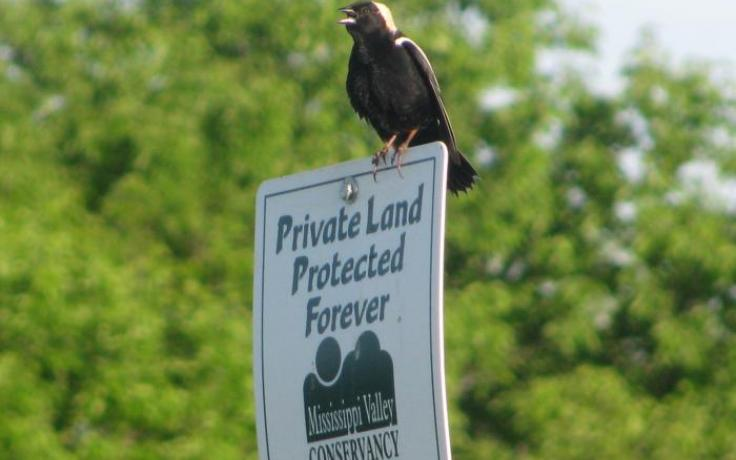 Bobolink perched on a protected land sign